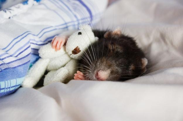 Szczurek resting1