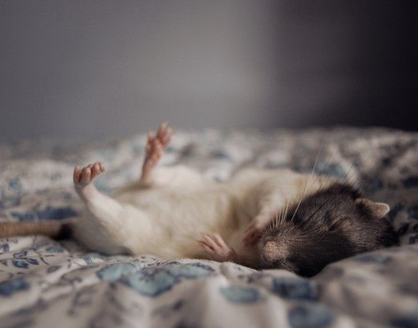 Szczurek resting2